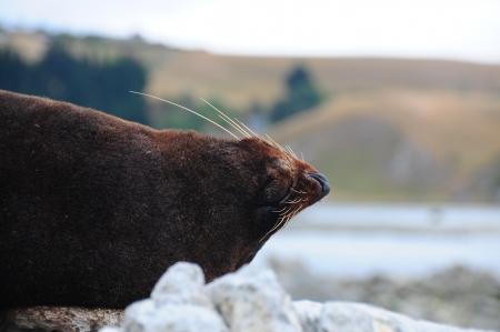 kaikoura: Sleeping sea lion. Kaikoura, New Zealand