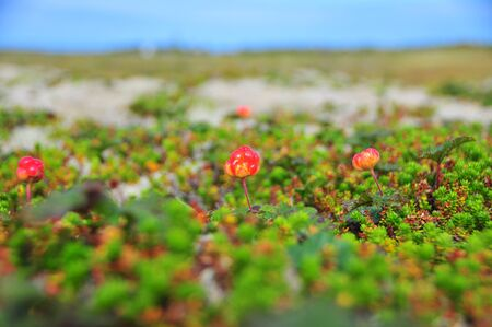 chicout�: Cloudberry closeup. Andoya island, Westerolen, Norway Banque d'images