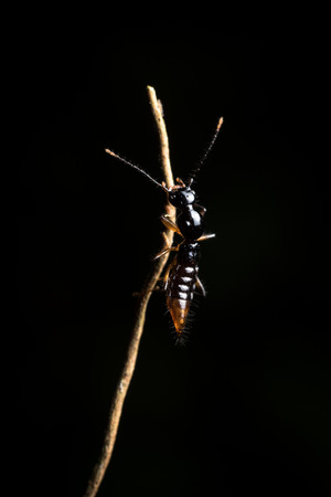 firebug: Bedbug sits on a leaf. Insecta  Hemiptera  Pyrrhocoridae  Pyrrhocoris apterus  the firebug in natural habitat, Bug in Dalat Vietnam