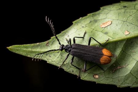 insecta: Bedbug sits on a leaf. Insecta  Hemiptera  Pyrrhocoridae  Pyrrhocoris apterus  the firebug in natural habitat, Bug in Dalat Vietnam