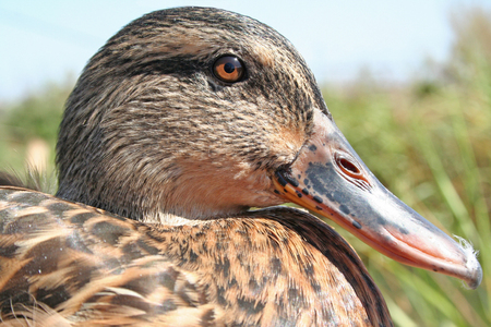 Mallard Duck Closeup 免版税图像