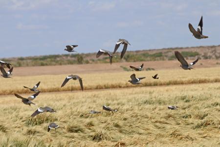 White-winged Doves in Flight Stock fotó