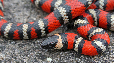 california mountain kingsnake (Lampropeltis zonata)