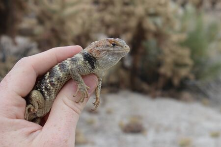 Desert Spiny Lizard in Hand (Sceloporus magister)