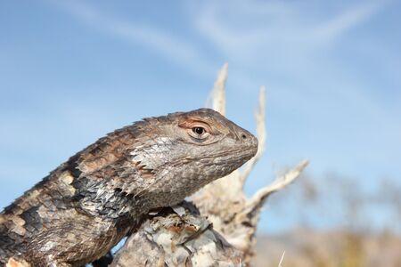 Desert Spiny Lizard Close Up Sceloporus magister