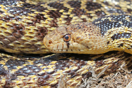San Diego Gophersnake (Pituophis catenifer annectens)