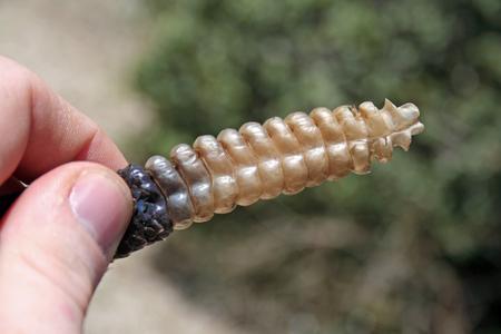 Queue de serpent à sonnettes (Crotalus oregaus helleri)