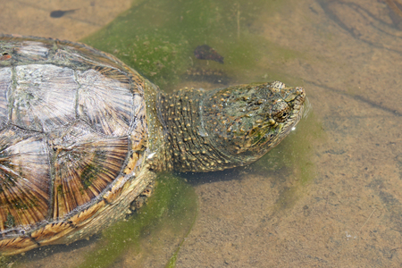 (Chelydra serpentina) Common Snapping Turtle Imagens - 120558346