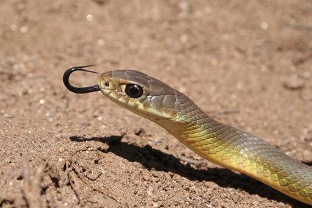 Western Yellow-bellied Race (Coluber constrictor mormon) Closeup