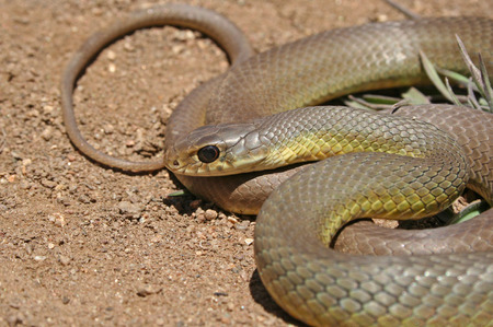 Western Yellow-bellied Racer Snake (Coluber constrictor mormon)