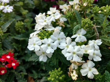 Bunch of white jasmine 写真素材