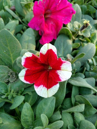 Red and white periwinkle 写真素材