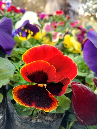 Red and black color pansy 写真素材