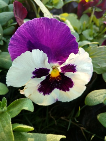 White and purple color pansy 写真素材