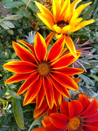 Orange Farbe Blume Standard-Bild