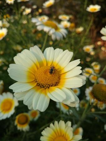 Bee on yellow flower in Garden 写真素材