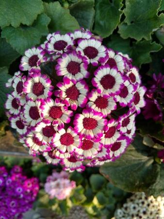 Bunch of daisies 写真素材