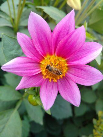 꿀벌에 달리아