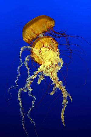 Sea Nettles (Chrysaora quinquecirrha) photo