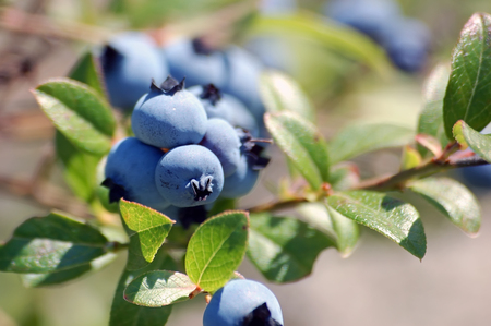 Wild Blueberries (Vaccinium myrtilloides) Stock Photo
