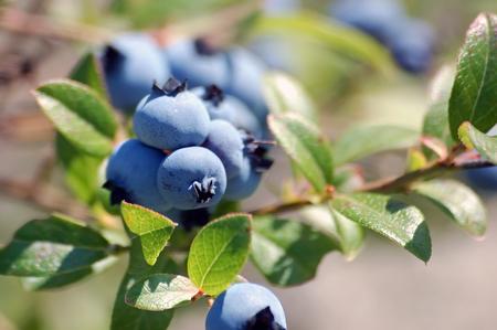 Wild Blueberries (Vaccinium myrtilloides) Stock Photo