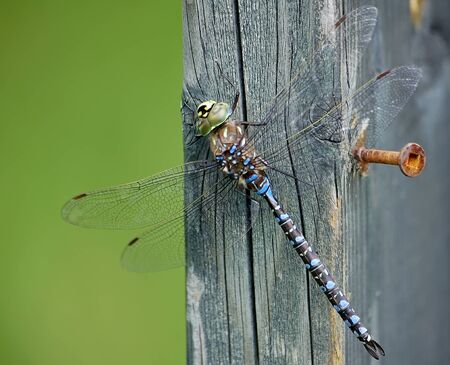zygoptera: A macro of a Dragonfly on a piece of wood Stock Photo