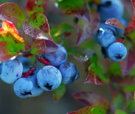 Some wild blueberries on their shrub Stock Photo
