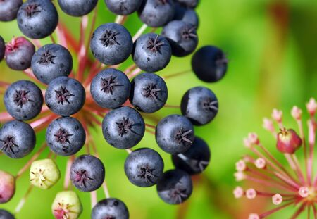 that: Closeup of some small berries that looks like blueberries Stock Photo