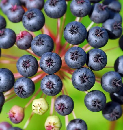 Closeup of some small berries that looks like blueberries Stock Photo