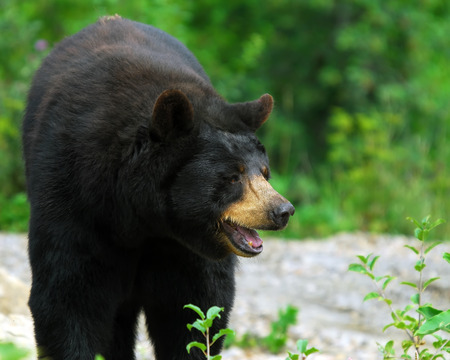 A black bear in its natural environment Stock Photo