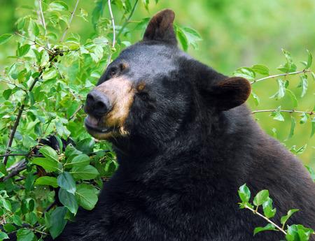 A black bear in its natural environment Reklamní fotografie
