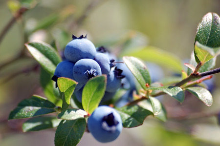 Some wild blueberries on their shrub Stock Photo