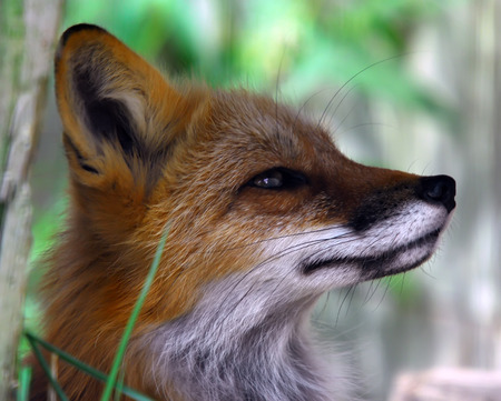 Closeup portrait of a Red Fox