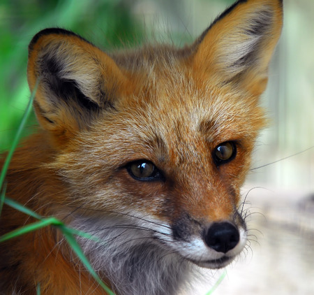 Closeup portrait of a Red Fox Stock Photo - 1600134