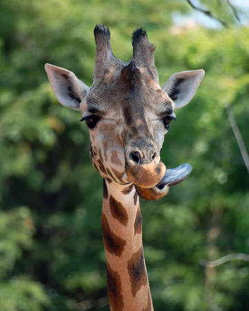 Close-up portrait of a Giraffe with her toungue out Stock Photo - 1620892
