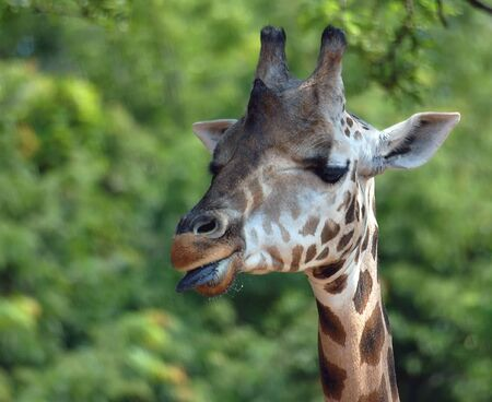 Close-up portrait of a Giraffe with her tongue out