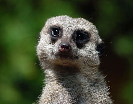 A close-up portrait of a Meerkat photo