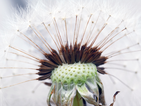 Extreme close-up of a dandelion in full bloom Banco de Imagens