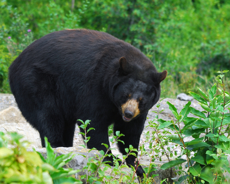 A black bear in its natural environment Stok Fotoğraf