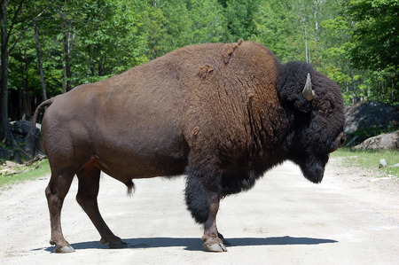 Picture of a mature Bison standing on a road