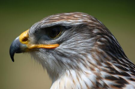 Close-up portrait of a Hawk with a green backgroung Stock Photo - 1668752