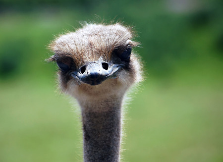 Close-up portrait of an Ostrich staring at the camera