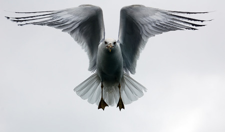 A picture of a seagull in flight against a white sky