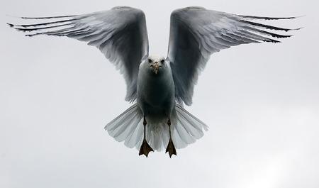 Een foto van een meeuw in de vlucht op een witte hemel