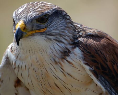 Close-up portrait of a Hawk with a tan backgroung