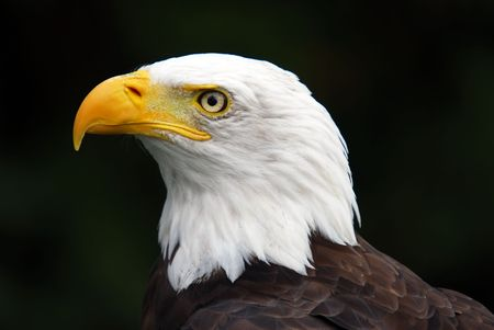 Portrait of an American Bald Eagle Stock Photo - 1857756