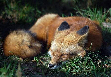 A close-up portrait of a Red Fox sleeping