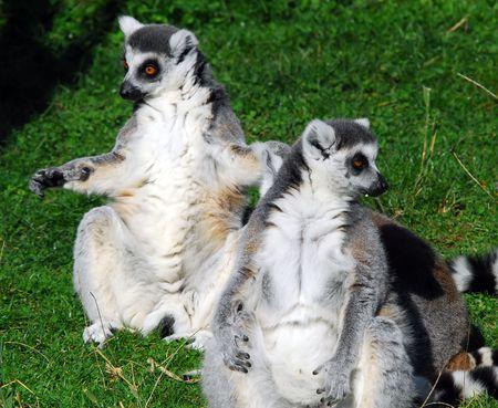 catta: Portrait of two Ring-tailed Lemurs (Lemur catta) Stock Photo