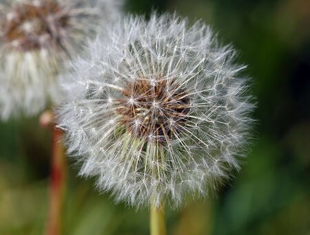 Extreme close-up of a dandelion in full bloom Stock Photo