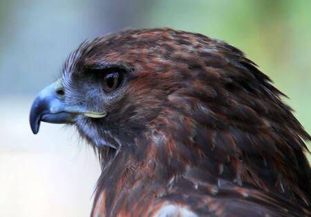 accipiter gentilis: Closeup portrait of a Goshawk (Accipiter gentilis)
